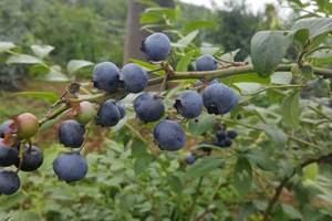 大连周边蓝莓采摘旅游线路价格表_大连蓝莓采摘一日游旅游团