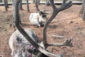 敖鲁古雅驯鹿之乡(鄂温克族部落)