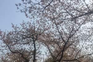 郑州到武汉赏樱花旅游团【武大樱花+武汉户部巷、轮渡汽车两日】
