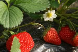 黄岛草莓采摘跟团线路推荐:草莓采摘+野生动物园/小珠山一日游