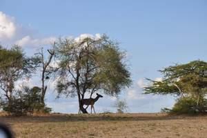 到坦桑尼亚旅游:赛伦盖蒂、乞力马扎罗深度12天(5人成团)