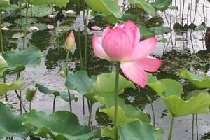 【纯玩无购物】扬州瘦西湖(早茶节)、大明寺、2日游