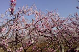 2020去平谷看桃花节+绿色平谷植树+户外拓展团建公司一日游