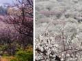 【赏梅专线】苏州光福香雪海+天池山一日游(企业团队私人定制)
