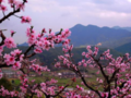 连平百里桃花节、虔心小镇、万亩茶园、燕翼围、老八盘美食二天游