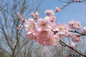 郑州古柏渡丰乐樱花园门票预订 古柏渡樱花节时间
