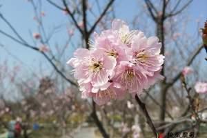 郑州古柏渡+樱花园门票特价 古柏渡丰乐樱花园预订