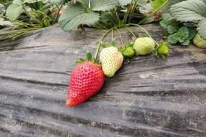洛阳草莓采摘票特价 草莓采摘随便吃送草莓