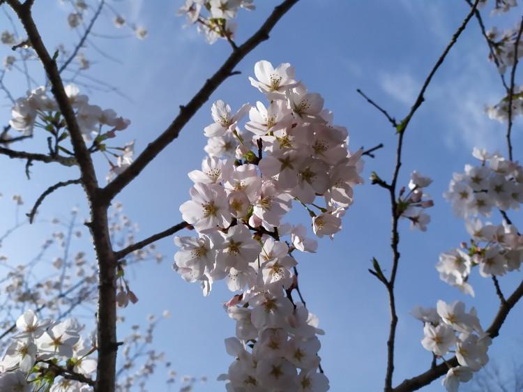 武汉大学樱花比以前更美了_武汉旅游攻略