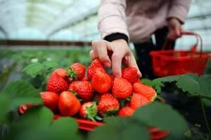 淄博采摘园-淄博旅行社到沂源凤凰山、草莓采摘一日游