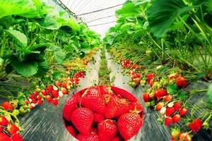 淄博摘草莓一日游-淄博到济南动物园+草莓采摘一日游