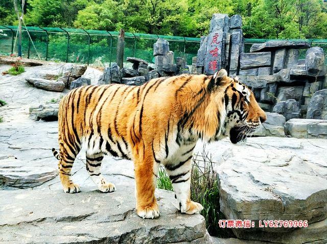 栾川竹海野生动物园门票特价 东北虎园门票特价