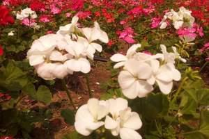 广州番禺百万葵园一日游、百万葵园一天游、百万葵园旅游团