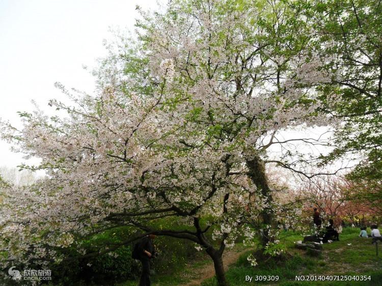 磨山樱花园图片
