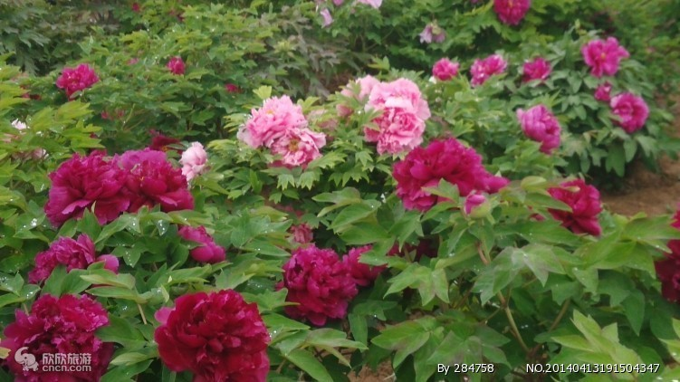 曹州牡丹园图片