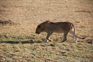 狂野坦桑尼亚11日之旅 塞伦盖蒂公园三天 阿鲁沙 塔兰吉雷