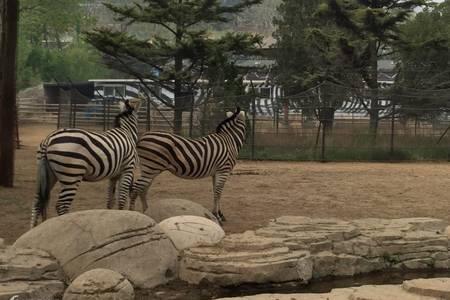 济南野生动物世界一日游-与狮子老虎近距离接触