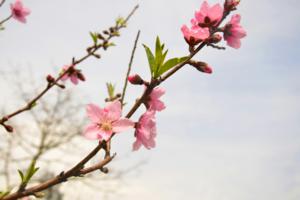 北京169处公园风景区将迎来近千种春花绽放