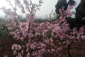 水蜜桃桃花