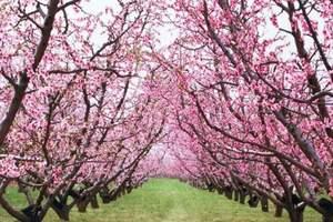 平谷桃花节开幕时间?平谷看桃花+植树环保一日游,平谷植树场地